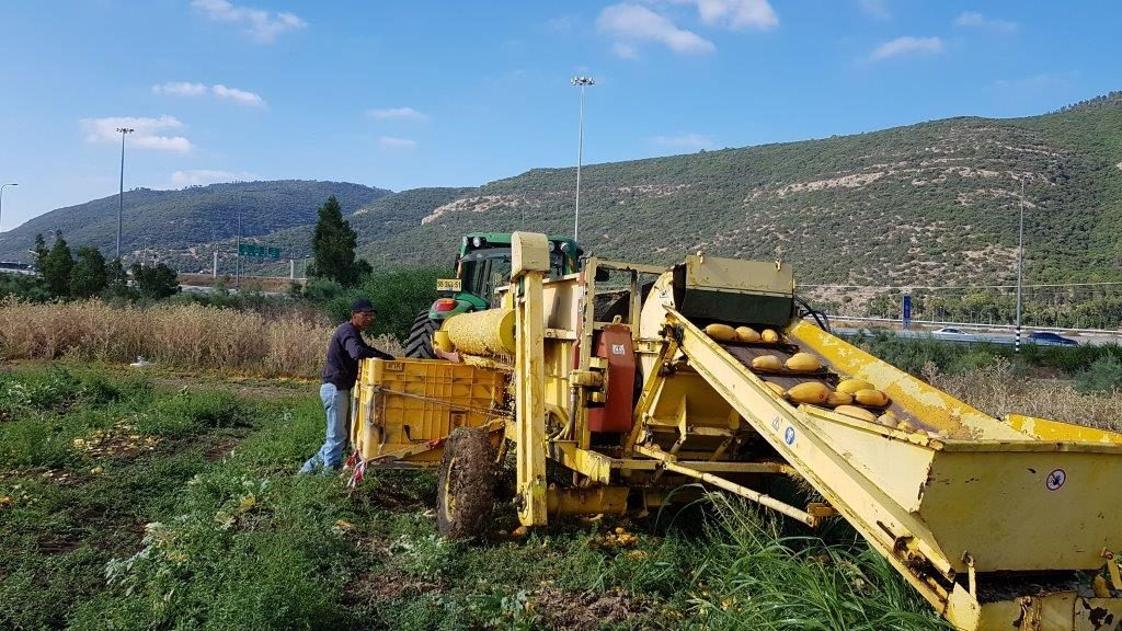 Yafe Seeds Production