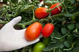 YAFFE SEEDS PRODUCTION - Tomato